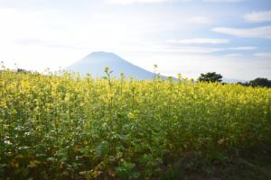 羊蹄山と菜の花