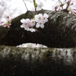 桜が満開なのに曇り空続き・・・。とりあえず撮影に出かけてみよう
