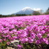 ゴールデンウィークに行くなら河口湖の富士芝桜まつり!神奈川から山梨へバスで向かう