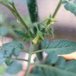 手作りトマトパスタを目指して始めた家庭菜園。うまくいくのか?-トマト栽培2-