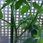 手作りトマトパスタを目指して始めた家庭菜園。うまくいくのか?-トマト栽培4-