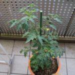手作りトマトパスタを目指して始めた家庭菜園。うまくいくのか?-トマト栽培3-