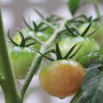 手作りトマトパスタを目指して始めた家庭菜園。うまくいくのか?-トマト栽培5-