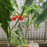 手作りトマトパスタを目指して始めた家庭菜園。うまくいくのか?-完結-