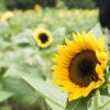 夏の花、ひまわりが咲いたようなので、昭和記念公園に行ってみる
