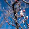 神奈川の梅の名所!梅まつり前のこどもの国へ出かけてみた