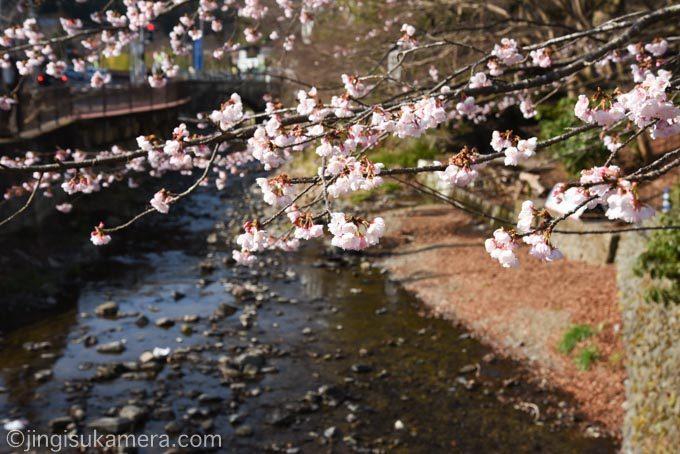 高尾山口の桜