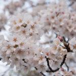 ようやく桜を撮影できた!ちょっとしたポイントとストロボを使った場合の写り方