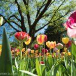 チューリップ見るならココ!春になったら昭和記念公園へ行こう!