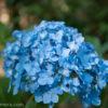 横浜の日本庭園 三渓園をちょっとだけ楽しむ!閉園間近の園内で紫陽花を探す