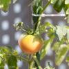 家庭菜園終了しました。-2017年トマト栽培 終了-