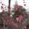 神奈川の梅の名所!梅まつり中のこどもの国へ出かけてみた