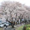 桜は満開まであと少し!横浜のこどもの国へ