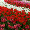 春の昭和記念公園へ!見頃の花々を撮影