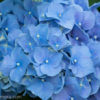 紫陽花に菖蒲に蓮!色々みれる薬師池公園へ出かけてみた